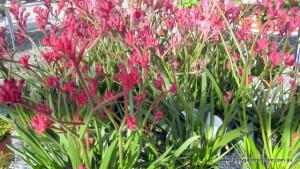pink1_flowers_plant_nursery_tanby_garden_centre