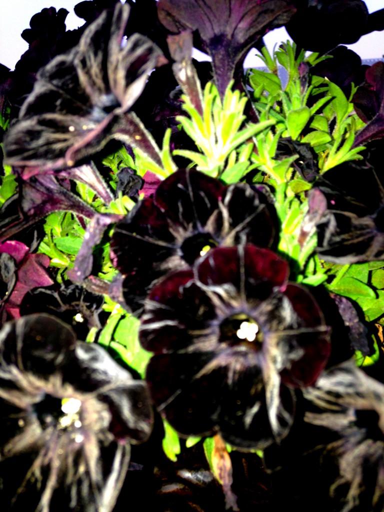 BlackTunia2_0549.2