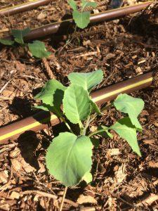 Sugarloaf Cabbage Seedling