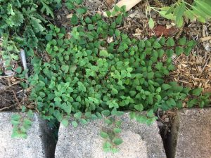 Oregano is an easy one. It will grow just about anywhere and is a lovely groundcover.